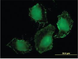 Anti-TLR9 Mouse Monoclonal Antibody
