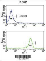 Anti-RPS6KB2 Rabbit Polyclonal Antibody