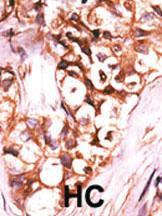 Anti-DUSP8 Rabbit Polyclonal Antibody