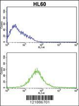 Anti-KLRC2 Rabbit Polyclonal Antibody