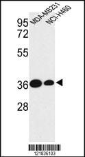 Anti-TAZ Rabbit Polyclonal Antibody
