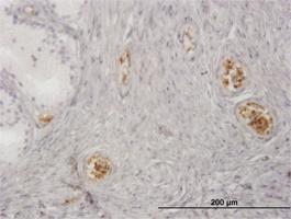 Anti-HBZ Mouse Monoclonal Antibody