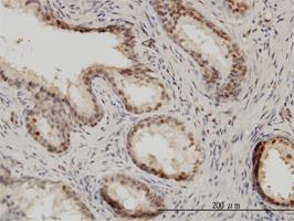 Anti-IRF9 Mouse Monoclonal Antibody