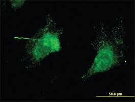 Anti-KCNC3 Mouse Monoclonal Antibody