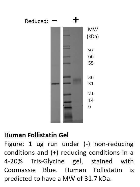 Recombinant human follistatin